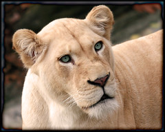 beauty & power (jaki good miller) Tags: cats beauty animal cat fur mammal zoo feline power lion greeneyes jakigood creature lioness animalkingdom specanimal animalkingdomelite abigfave supremeanimalphoto impressedbeauty