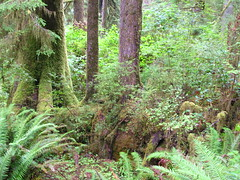 Nurse log, Quinault Rain Forest Nature Trail