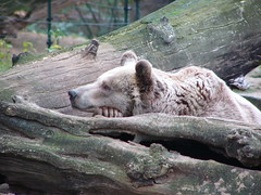 Sleeping Bear (Stefano_p) Tags: bear nature animals wildlife bears mammals stefano brownbear animalkingdomelite stefanop stefanoprina