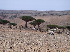 dracaena cinnabari on the Dixam plateau (jan_vandorpe) Tags: yemen dracaena socotra cinnabari