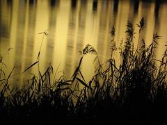 gold river (Nicola Zuliani) Tags: grass night gold nicola erba notte oro riflesso casier nizu zuliani nicolazuliani nizuit nnart nnart654 wwwnizuit