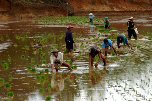 Philippines,Pinoy,Life,city,rural farm, Philippines, rice, rural, scene, working farm farming farmers workers planting Luisiana, Laguna