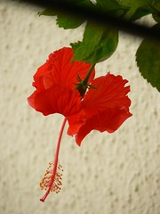 Bunga Raya :: Hibiscus (dinesh_valke) Tags: flora evergreen hibiscus hibisco malvaceae hibiscusrosasinensis shrub rosemallow cayena gumamela ibisco chuchin bungaraya shoeflower chinarose tropicalhibiscus hawaiianflower chinesehibiscus roseofchina dv500 rosadechina hawaiianhibiscus mallowfamily fusang rosedechine sembaruthi chineseroos gurhal chemparati jaswand dosniphool गुढ़ल jubakusumathonba செம்பருத்தி जासवंद दोस्णिफुल queenofthetropics hibiscuschinensis blackingplant bussoge chihchin chinesischerroseneibisch cingulu claveljaponés feuilleschoublak hibiskukset jihchi khatmahsiniyah rosadellacina rusang schoensmeerplant sehempariti shoeblackplant worowari