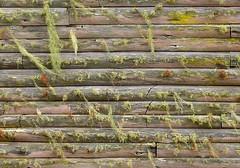Lichen wall, Hollywell