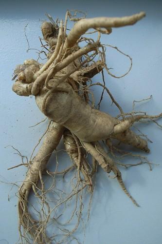 Real Mandrake