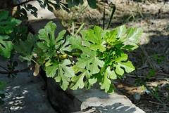 Ficus carica (Bob Reimer) Tags: fieldtrip oman ficuscarica enhg wilayatmahdah afrathe