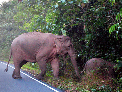 Wild elephant and baby crossing the road