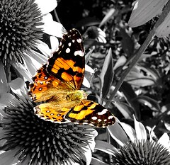 Butterfly (aussiegall) Tags: flower butterfly garden fly blackwhite wings echinacea abigfave impressedbeauty colourphotoaward