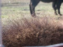 bison fuzz