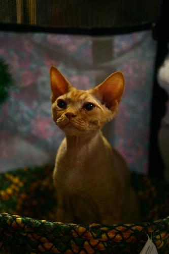 goldencat.jpg