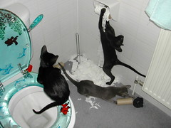 The Ministry of Mischief...:D (Sapphiren) Tags: blue cats black cat naughty fur fun bathroom kitten babies sweet kittens toilet litter ash oriental raven mischief ebony shredding bestofcats