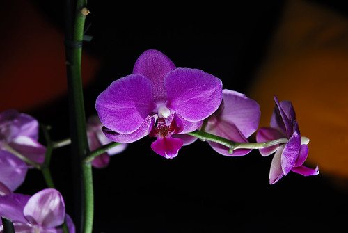 Orchid Orchestra