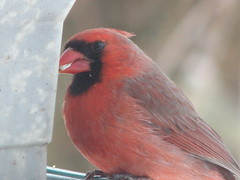 cardinal with safflower