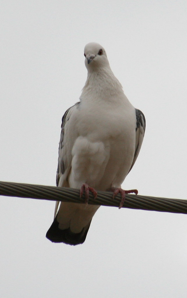Rock Dove / Rock Pigeon white