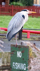Heron breaking the rules on Lavender Pond