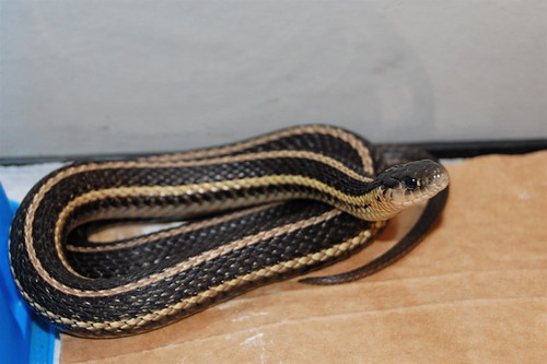 Butler's Garter Snake