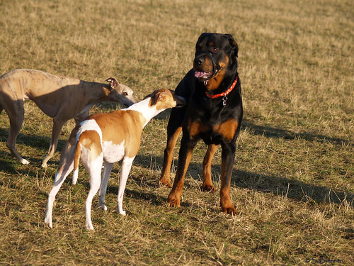 Whippets and Rottweiler