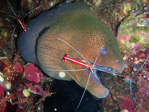 White-banded Cleaner Shrimp