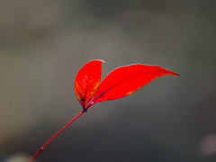 Red (Flutterbye_856) Tags: red nature ilovenature leaf bokeh soe signofspring impressedbeauty wowiekazowie rednandinaleaf explorefeb22nd27 11today