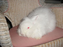 Woolybuns Crystal, a favorite Pure German Angora