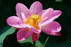 蓮(Lotus)