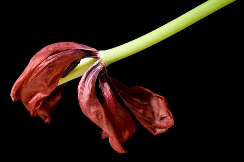 Dried Up Tulip