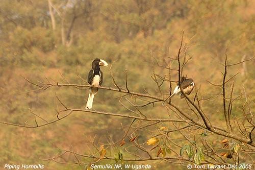 Piping Hornbill (Ceratogymna fistulator)