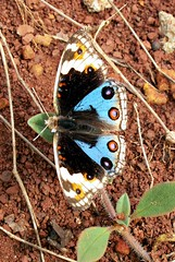 Butterfly (Mangiwau) Tags: blue color colour macro butterfly insect java insects creepy jawa insectes biru blueish sunda warna kupukupu insecta serangga tangerang crawlies bintaro banten wowiekazowie