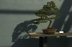 Juniperus chinensis, Bonsai, Informal upright style, BBG
