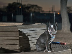 chew 4 (blogjam_dot_org) Tags: sunset dog bostonterrier texas houston montrose nikkor dogpark speedlight 50mm18 primelens sb25 pocketwizard dunlavy peabo fixedfocallength 77006 sunpak544 misterpeabody ervanchew