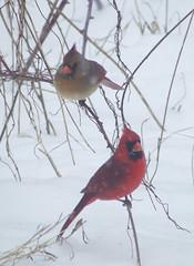 cardinal pair in snowstorm