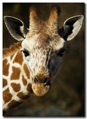 Portrait Of A Giraffe (nailbender) Tags: nature spots giraffe birminghamzoo naturesfinest zoofari nailbender supershot specanimal jdmckinnon