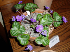 Hepatica Blackhorn Blue