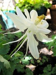 First Columbine Flower