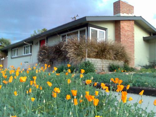 California Poppies at Julie Wanda's