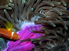 clownfish(4) (Z Eduardo...) Tags: ocean colors underwater diving clownfish anemone scubadiving maldives indic anemonefish ariatollsouth