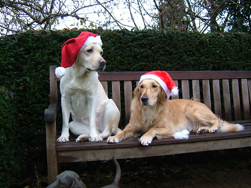 yellow labrador - christmas