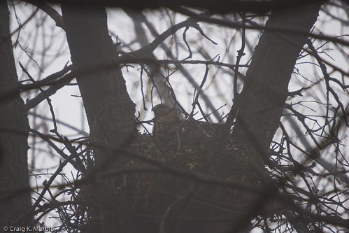 Red Shouldered Hawk on Nest in Fog