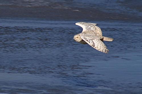 Majestic -- canada bird owl pei flying snowy snowyowl majestic