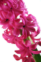 Hyacinth (Emily Quinton) Tags: pink flower green spring greenfusephotography hyacinth excellence maccro