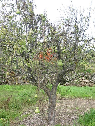 Árvore com cabaças
