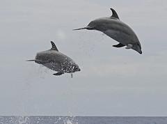 Tursiops Truncatus (PedroMadruga) Tags: ocean sea wild canon 350d dolphin wildlife azores aores golfinho dfc flyingdolphin openocean roaz toninha botlenosedolphin goldenphotographer diamondclassphotographer pedromadruga southofpico toninhabrava birddolphin dolphinbird