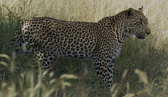 Mature leopard in shade. - by Arno & Louise