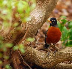 Low Branch Robin
