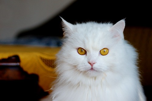 cute Persian cat pictures