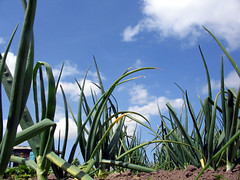 onions2 uploaded by docman on June 13, 2005