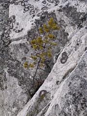 Pine on the rocks (Ivo Stad & Land) Tags: winter sea tree freeassociation berg pine march rocks stockholm lichen tall archipelago lonelytree pinussylvestris ivostadland skrgrden