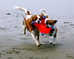Teamwork: Spot and Bebop (Spot!) Tags: puppy sand russell spot terrier jackrussell cavalier fetch jackrussellterrier cavalierkingcharlesspaniel teamwork cavalierkingcharles kingcharlesspaniel kingcharles