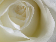 funeral flowers (Mary Hockenbery (reddirtrose)) Tags: white flower macro rose petals cream whiteroselegend msh1108 msh11082