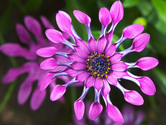 sunscape daisy (algo) Tags: flowers flower colors closeup 1025fav catchycolors garden photography colorful daisy algo zara osteospermum darkbackground sunscapedaisy
